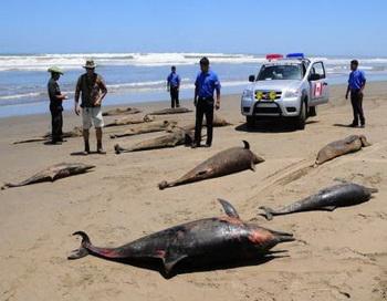 В середине апреля на берег Перу вынесло около 900 мёртвых дельфинов. Фото: abendblatt.de