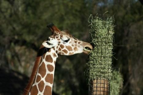 В Дании тысячи людей вступились за жизнь жирафа. Фото: morguefile.com