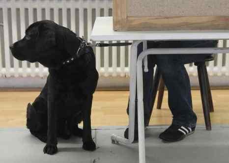 Для борьбы с гигантскими улитками ахатинами, которые расплодились в американском штате Флорида, будут подготовлены собаки породы лабрадор, которые могут отыскивать улиток по запаху. Фото: Sean Gallup/Getty Images