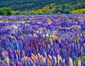 russell-lupins