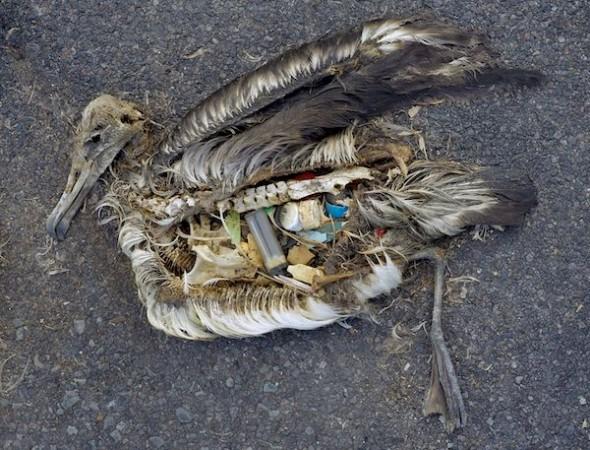 Содержимое желудка мёртвого альбатроса, Мидуэй, сентябрь 2009 года. Фото: US Fish and Wildlife Service