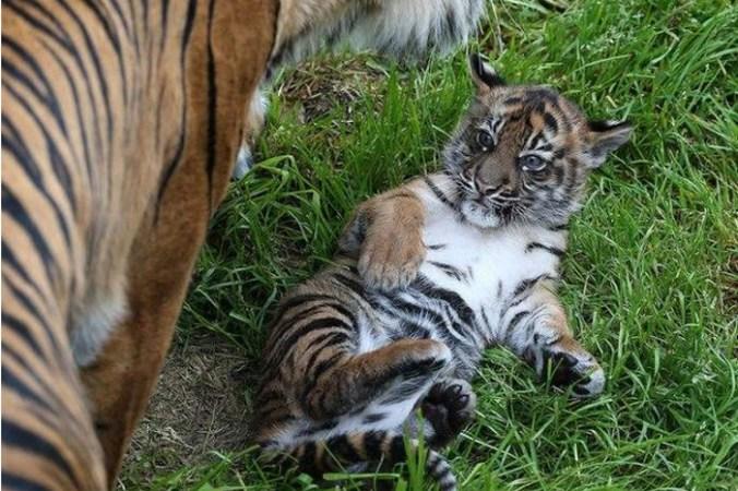 Китай, животные, тигры