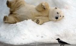 животные, белый медведь, московский зоопарк, фото дня, фото
