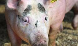 Китай, свинина