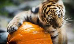 амурский тигр, животные, фото дня, фото