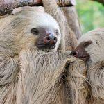 В Московском зоопарке поселился двупалый ленивец