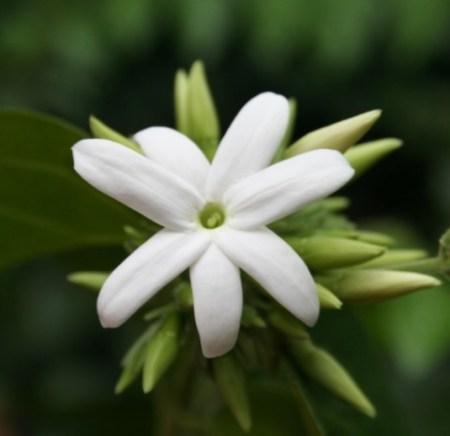 Цветок жасмина. Фото: Wikimedia Commons