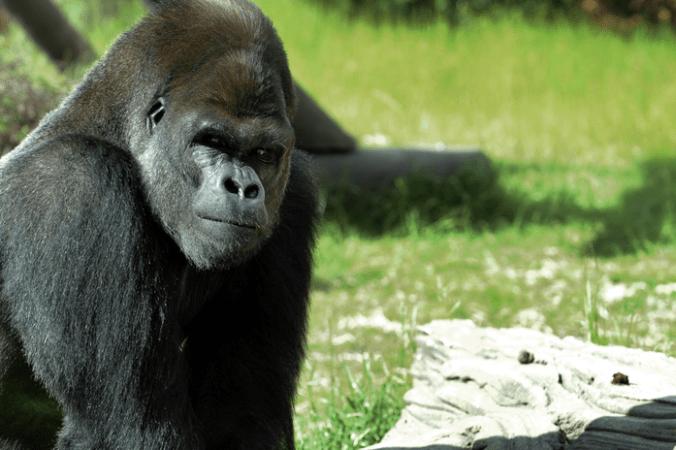 Япония, горилла, зоопарк Хигасияма, соцсети