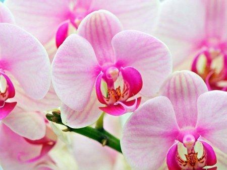 Орхидеи нежно розовые. Фото: playcast.ru