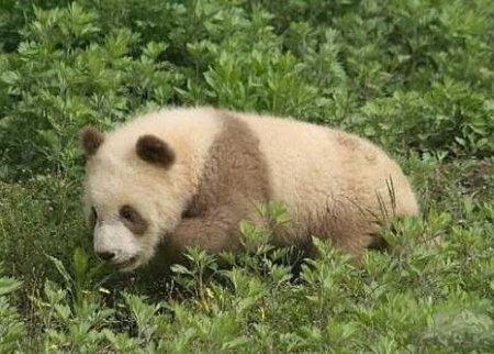 brown-white-panda-China-rare-3