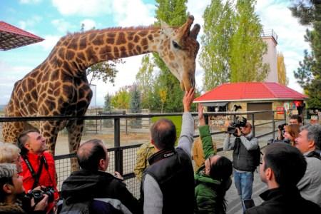 В зоопарке Тайгана — позитив от общения с жирафом. Фото: Алла Лавриненко/Великая Эпоха
