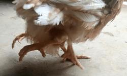 Цыплёнок с четырьмя ногами