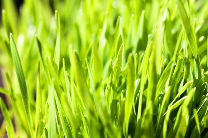 витграсс, пшеница