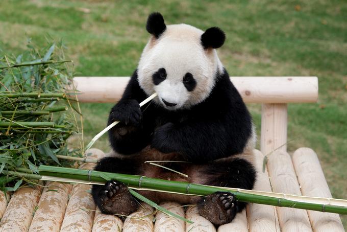 За день панда может съесть до 30 килограмм бамбука. Фото: Chung Sung-Jun/Getty Images