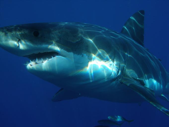 Большая белая акула является одним из наиболее опасных хищников для человека. Фото: pixabay.com/CC0 Public Domain