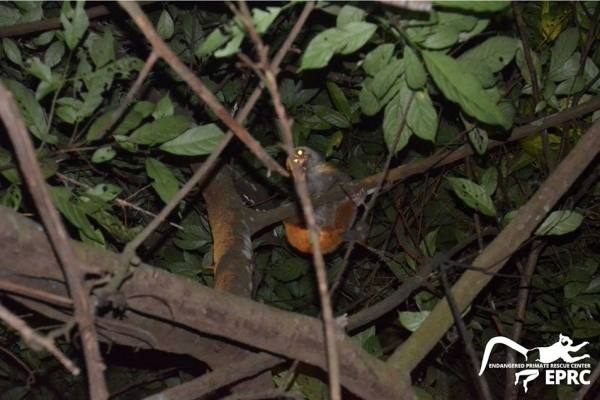 Loris release program successfully done, three lorises return to the forest. Photo by EPRC. Photo by EPRC.