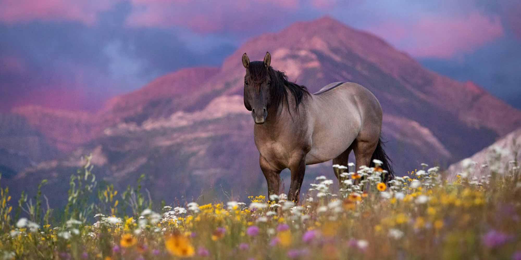 EQ Graphics | Beautiful Quarter Horse in a Field of Flowers Photography