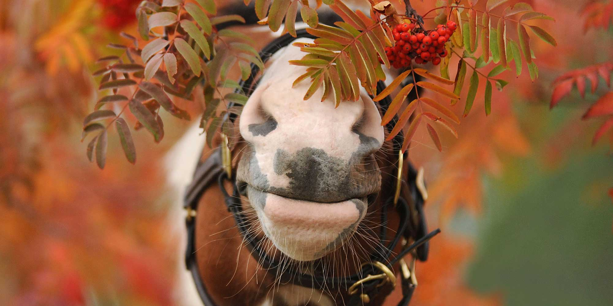 EQ Graphics   Horse Hidden In Fall Foliage Photography