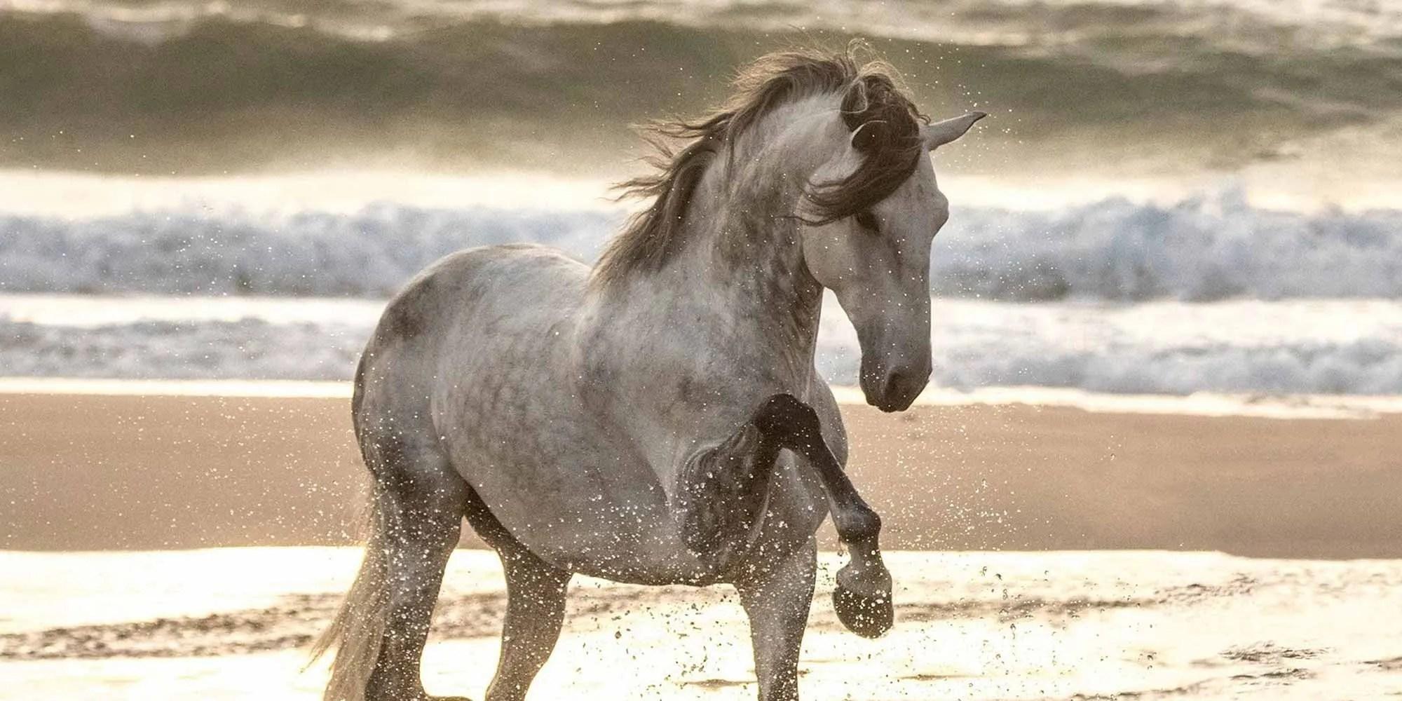 EQ Graphics | Lusitano Horse Spanish Walk in Ocean Photography