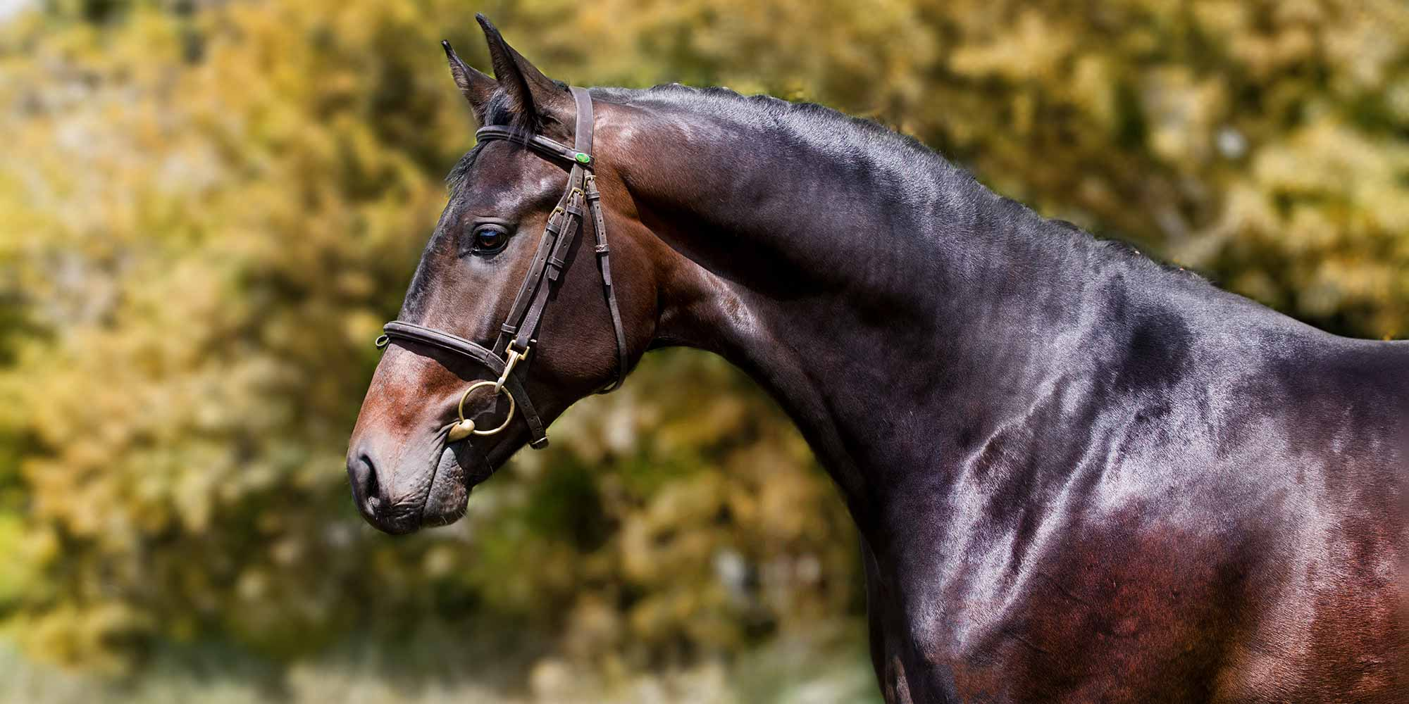 EQ Graphics | Side Head Profile Photography of a Sport Horse