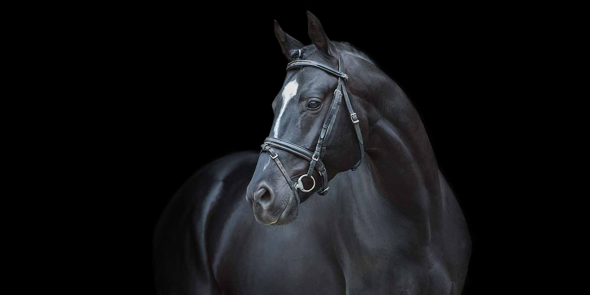 EQ Graphics | Warmblood Stallion Horse Photography Featuring a Black Background