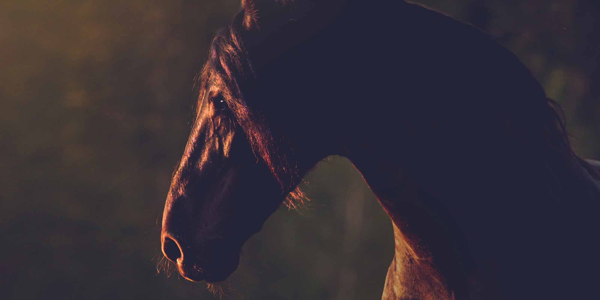 EQ Graphics | Friesian Horse Portrait in the Wild West Backlit by a Western Sunset