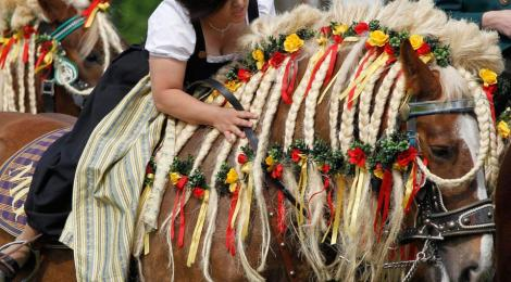 Braiding and decorating the mane of a shire horse