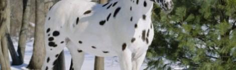 Videos of Appaloosa horses