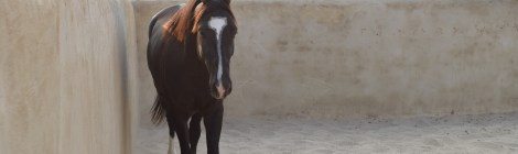 Videos of Marwari horses
