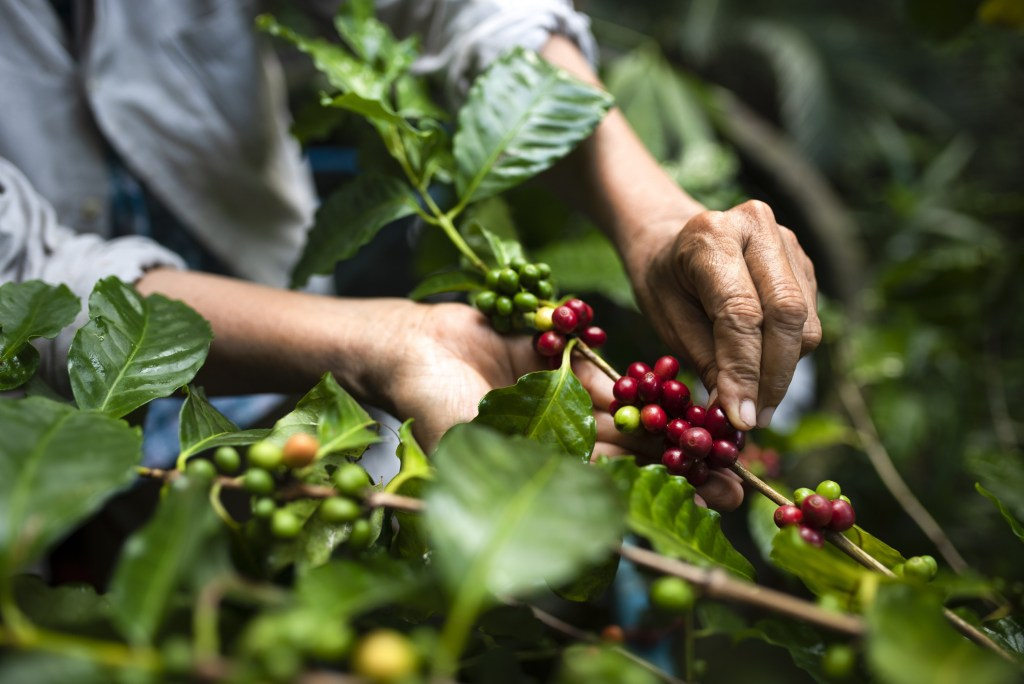 Coffee growers are busy during the harvest.