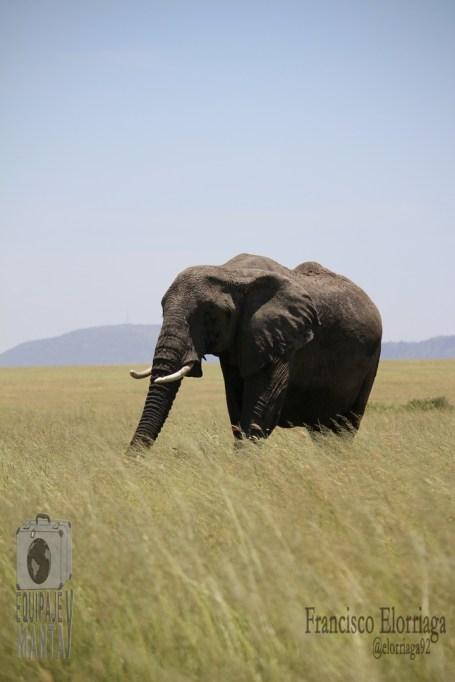 Elefante del Serengeti Foto: Francisco Elorriaga Instagram: @elorriaga92