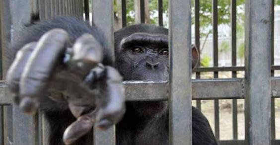 Libertà negate: grandi scimmie e commercio illegale
