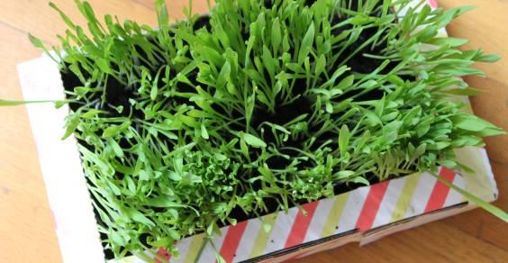 Erba d'orzo: coltiva la tua erba di grano in casa