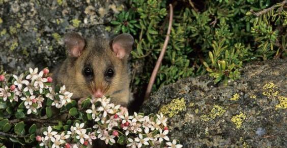 L'Opossum pigmeo a rischio d'estinzione a causa del global warming