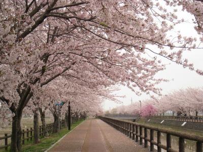 Pohon Sakura