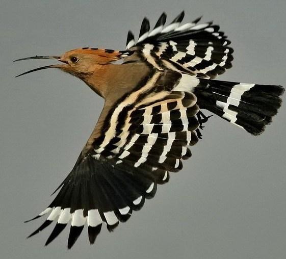 Burung Hud Hud Salah Satu Hewan Dalam Al Qur An Eramuslim