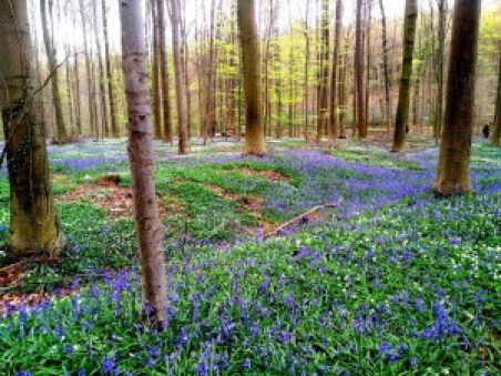 Hallerbos (5) Hallerbos, el bosque azul de Flandes - Hallerbos 5 300x225 - Hallerbos, el bosque azul de Flandes