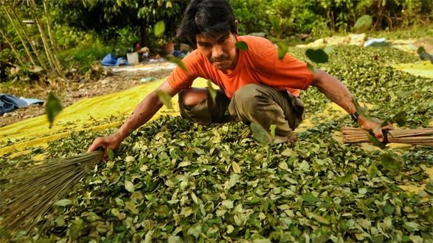 Hectáreas de cultivo de coca subieron en un 14% — UNODC