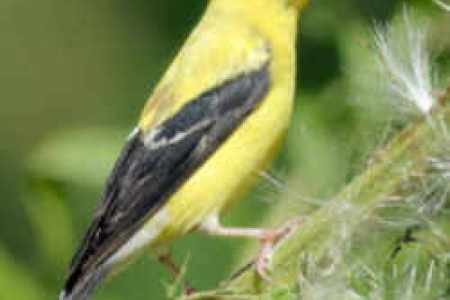 Jersey State Bird The Eastern Goldfinch Official New US
