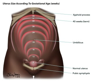 uterus size