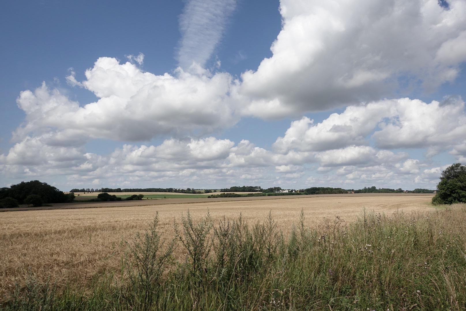 Typisch Deens vergezicht met korenveld.