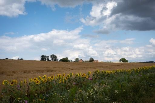 Korenveld omzoomd door zonnebloemen bij Gammelstrup