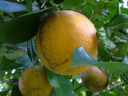 Backyard Sour Oranges