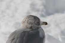 Seagull on Snowy Beach with Black Stripe on Beak