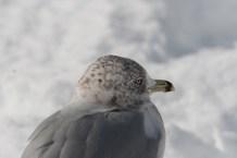 Seagull on Snowy Beach with Black Stripe on Beak