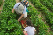 strawberry picking-29