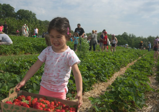 strawberry picking-70