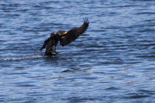 Eagles at Conowingo Dam - 2018-01-01T12:08:15 - 818