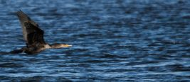 Eagles at Conowingo Dam - 2018-01-01T12:31:01 - 1129