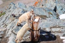 Baby mountain goats at Gornergot
